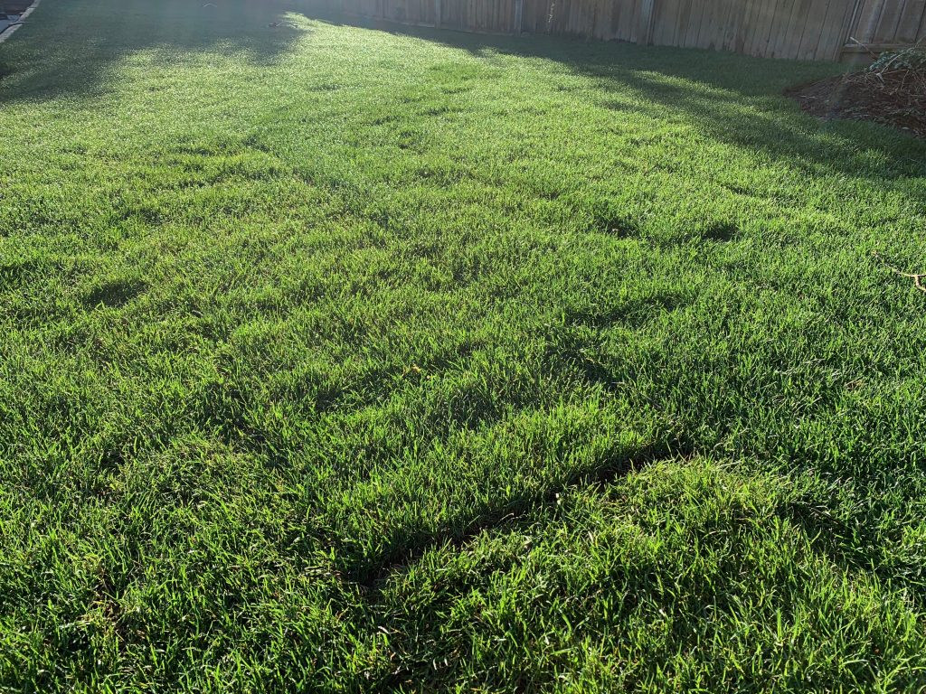 Drought resistant sod